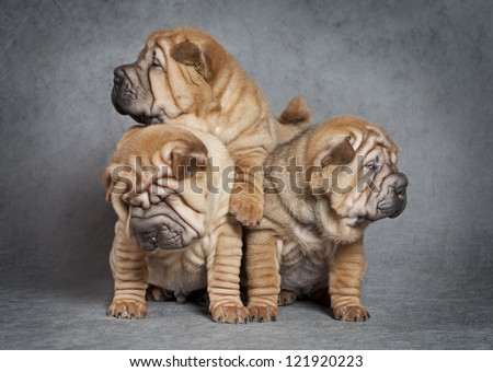 One month old sharpei puppies against grey background - stock photo