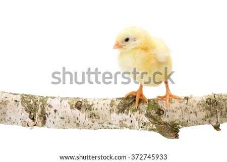 One newborn chicken standing on wooden branch. Isolated on white - stock photo