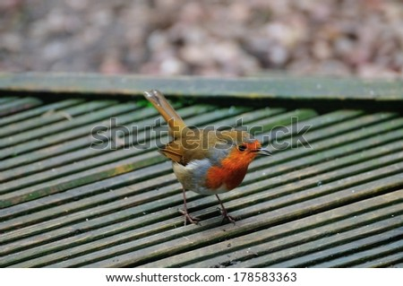 One of a pair of Robins that visit me daily at my urban garden in Scotland. - stock photo