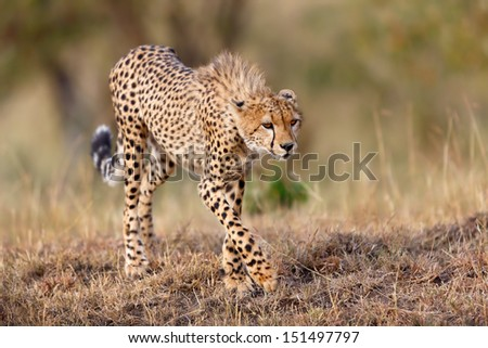 One of Cheetah Narasha's cub looking for food in Masai Mara, Kenya - stock photo