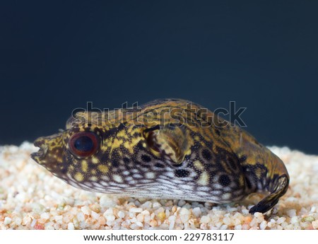 One of poisonous  puffer  fish - send tetraodon in aquarium. - stock photo