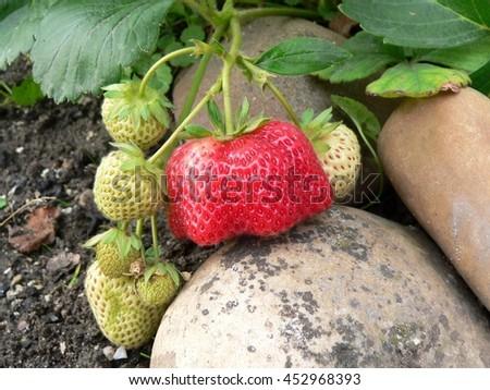 One of ripe strawberries mutant and around the unripe fruit strawberries - stock photo