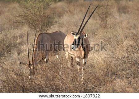 one of the largest antelopes, often called the swordsman of the Plains due to its horns - stock photo