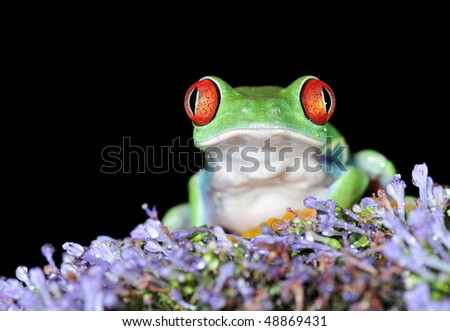 one of the most beautiful creatures on planet earth:the red eyed tree frog (agalychnis callidryas) on a lavender flower isolated on black - stock photo
