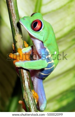 one of the most beautiful creatures on planet earth:the red eyed tree frog (agalychnis callidryas). - stock photo