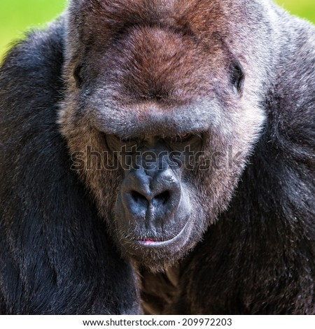 One of the most endangered animals, a great silverback Lowland Gorilla - stock photo