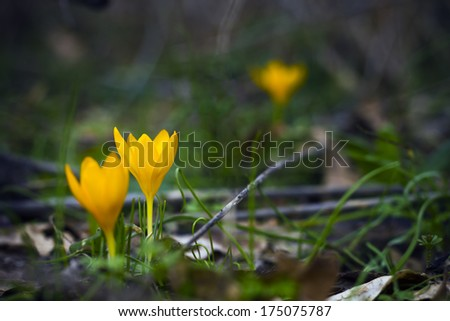 One of the very first flowers to herald in spring, this little crocus delights us with it's brilliant yellow blooms - stock photo