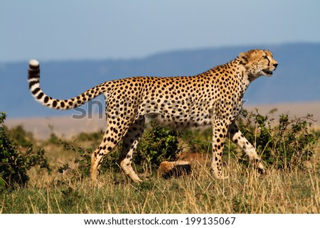 One of three Cheetah brothers walking in Masai Mara, Kenya - stock photo