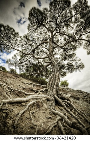 One old tree with long roots on a dry soil. Majestic pine tree - stock photo