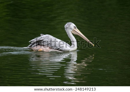 one pelican swimming in a lake - stock photo