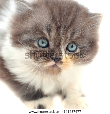 One persian kitten over white background. - stock photo