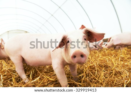 One piglet on hay and straw at pig breeding farm - stock photo