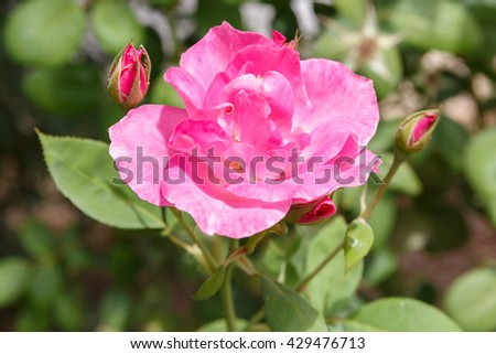 One pink decorative rose with small buds - stock photo