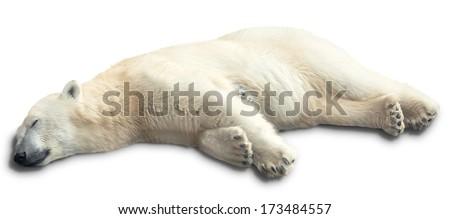 one polar bear sleeps on a white background. isolated - stock photo