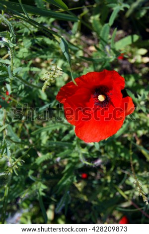 One poppy flower - stock photo