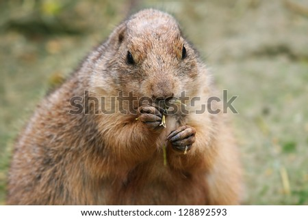 one prairie dog when eating - stock photo