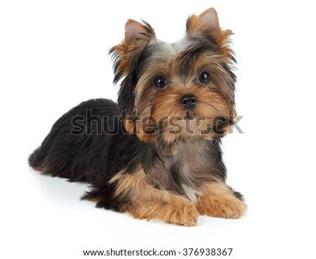 One puppy of the Yorkshire Terrier isolated on white background - stock photo