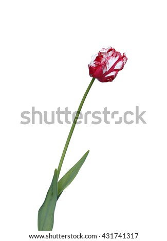 One red and white parrot tulip isolated on white background - stock photo