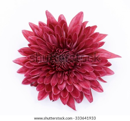 One Red Chrysanthemum Flower Isolated over White Background - stock photo