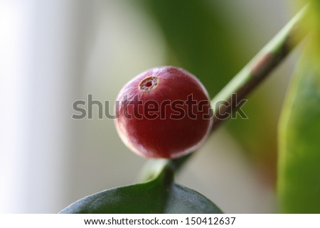 One red coffee berry on a branch - stock photo