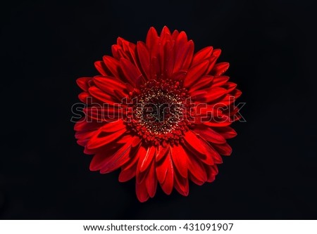 One red gerber flower  as symbol of temptation on a black background. - stock photo