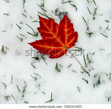 One Red Maple Leave on Snow - stock photo