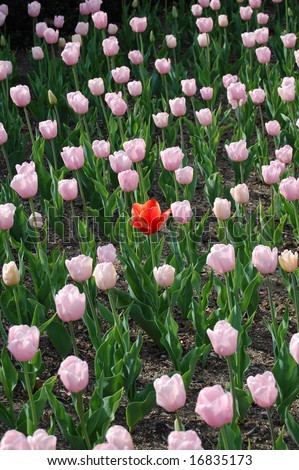 one red tulip amongst field of pink - stock photo