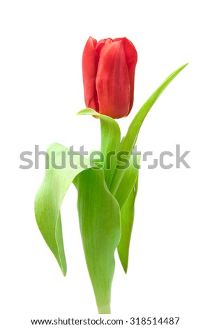 one red tulip isolated on white - stock photo