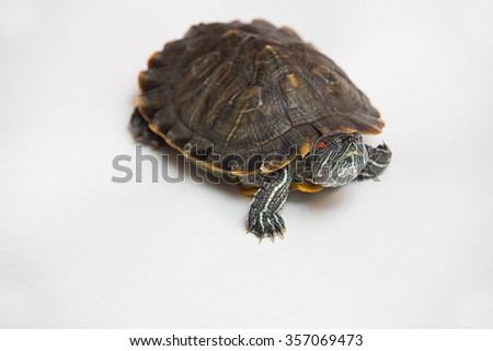 one sea red-eared sliders on a white background - stock photo