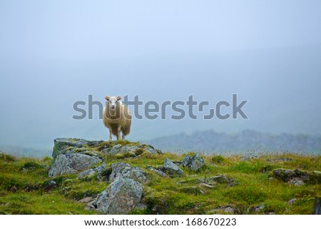One sheep in grassland in the foggy day. Iceland - stock photo