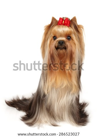 One show class Yorkshire Terrier with red bow on top sits on white isolated background - stock photo