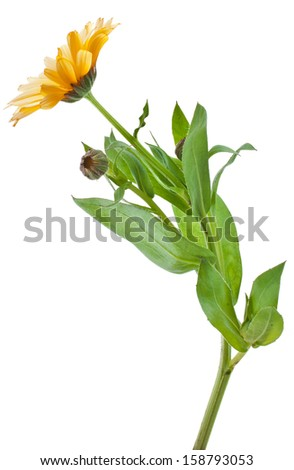 One Single orange flower calendula close up macro Isolated on white background  - stock photo