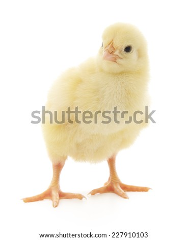 One small chicken on a white background - stock photo