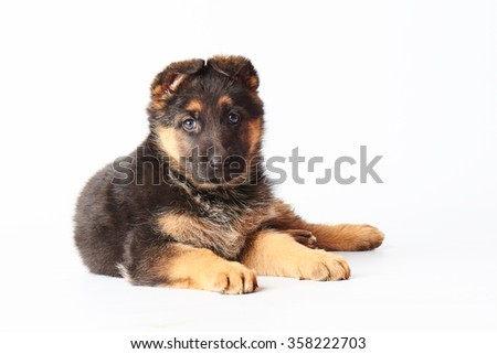 one small cute german shephard puppy laying on white background and looking straight into the camera. - stock photo