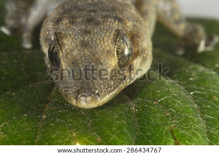 One Small Gecko Lizard and Green Leaf on a White Background - stock photo