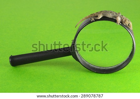 One Small Gecko Lizard and Loupe on a Colored Background - stock photo