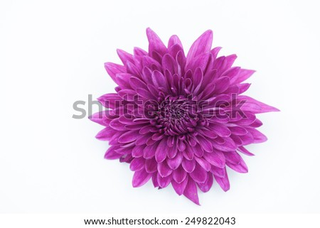 One violet Chrysanthemum Flower Isolated over White Background - stock photo