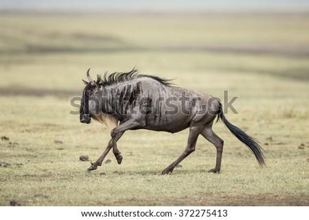 One White Bearded Wildebeest running in the Ngorongoro Crater, Tanzania - stock photo