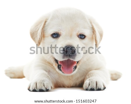 one white little labrador retriever puppy dog of one month on white background - stock photo