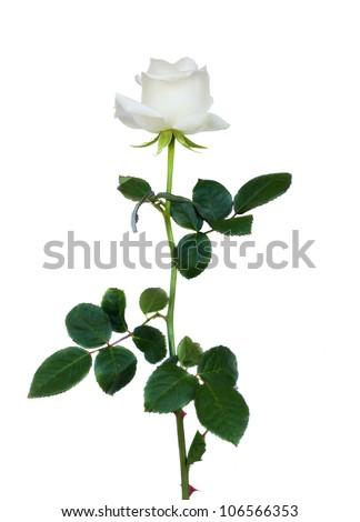 one white rose isolated on white background - stock photo