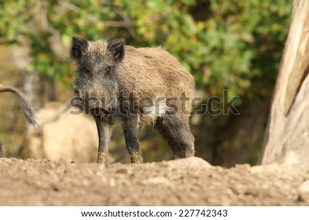 one wild boar standing in a clearing ( Sus scrofa ) - stock photo