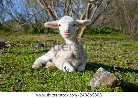 One winter young lamb running and playing on dehesa landscape - stock photo