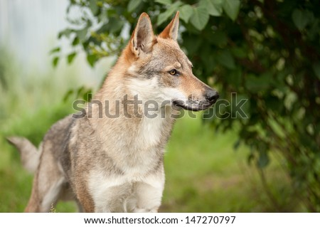 One wolf standing on green hillock and look at photograph - stock photo