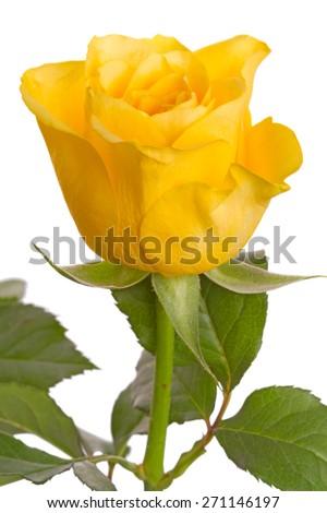 One yellow rose close-up isolated on white background - stock photo