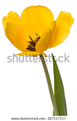One yellow tulip isolated on white background - stock photo