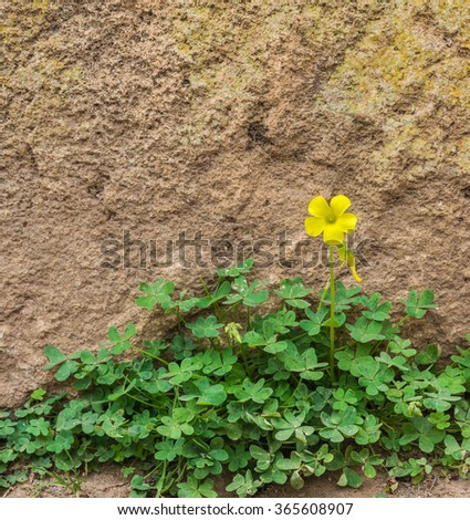 One yellow wood sorrel on the ground in front of the rock wall in the garden of Chellah in Rabat, Morocco - stock photo