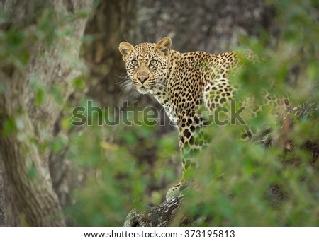One young female African Leopard in a tree, Kruger Park, South Africa - stock photo