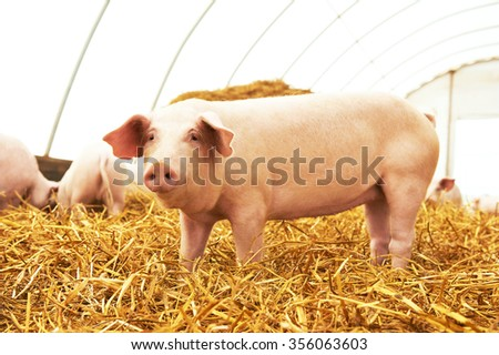 One young piglet on hay and straw at pig breeding farm - stock photo
