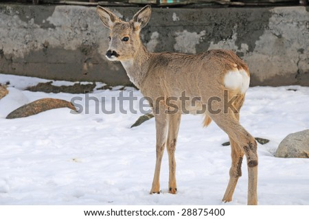 one young roe stay on snow - stock photo