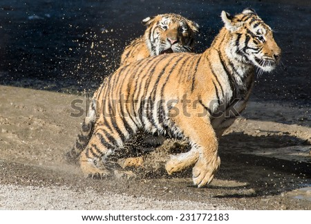 One young tiger runs after the other - playing in the water in Harbin Tiger Park - stock photo